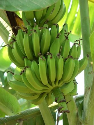 一房に何十本ものバナナがなり、時には一本からなん房も果実をつけることもあります